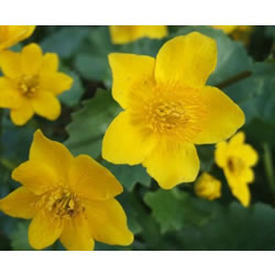 Small Image of Caltha palustris 19cm Pot Size