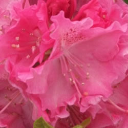 Small Image of Rhododendron Hardy Hybrid 'Germania' 30cm Pot Size