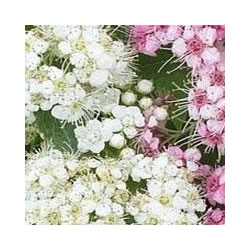 Small Image of Spiraea japonica 'Shirobana' 19cm Pot Size