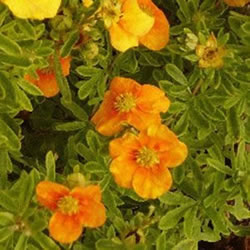 Small Image of Potentilla fruticosa 'Mango Tango' 19cm Pot Size