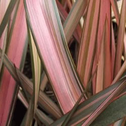 Small Image of Phormium 'Flamingo' 19cm Pot Size