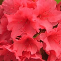 Small Image of Azalea japonica Evergreen  'Aghadir' 13cm Pot Size