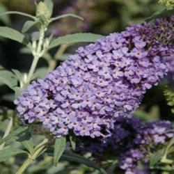 Small Image of Buddleja Buzz 'Sky Blue' - Butterfly Bush 15cm Pot Size