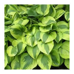 Small Image of Hosta 'Moon Split' Bare Root Clump