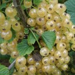 Small Image of White Currant 'White Pearl' 19cm Pot Size