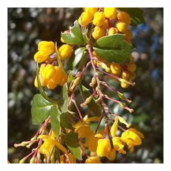 Small Image of Berberis darwinii 15cm Pot Size