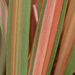 Small Image of Phormium 'Jester' 19cm Pot Size