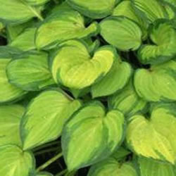 Small Image of Hosta 'Emerald Tiara' Bare Root Clump