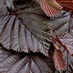 Small Image of Corylus Maxima 'Purpurea' 19cm Pot Size