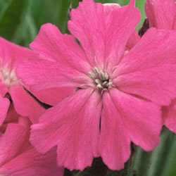 Small Image of Lychnis flos cucuzi 'Terry's Pink' 12cm Pot Size
