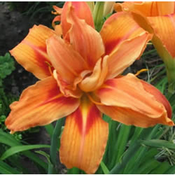 Small Image of Hemerocallis Day Lily 'Apricot Beauty' 23cm Pot Size
