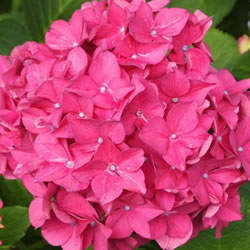 Small Image of Hydrangea macrophylla 'Pink' 15cm Pot Size