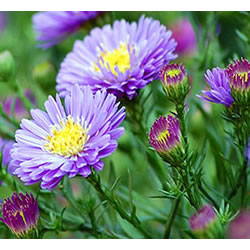 Small Image of Aster 'Sapphire' 15cm Pot Size