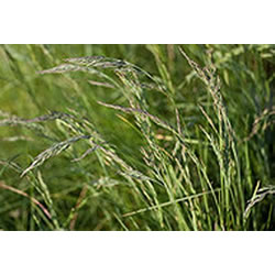 Small Image of Festuca 'Rubra' 15cm Pot Size