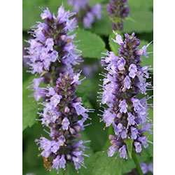 Small Image of Agastache foeniculum 'Black Adder' 15cm Pot Size