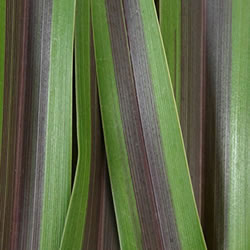 Small Image of Phormium 'Chocomint' 19cm Pot Size