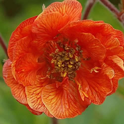 Small Image of Geum rivale 'Cocktail' 15cm Pot Size