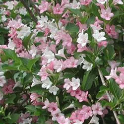 Small Image of Weigela 'Carnival' 19cm Pot Size