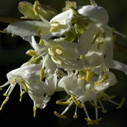 Small Image of Lonicera x purpusii 19cm Pot Size