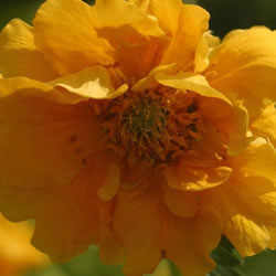 Small Image of Geum 'Lady Stratheden' 12cm Pot Size