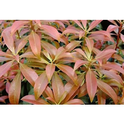 Small Image of Pieris japonica 'Bonfire' 16 cm Pot Size