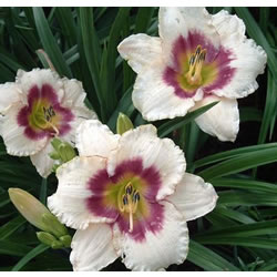 Small Image of Hemerocallis Day Lily 'Blueberry Candy' 23cm Pot Size