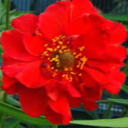 Small Image of Geum 'Blazing Sunset' 15cm Pot Size