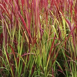 Small Image of Imperata cylindrica 'Red Baron' 19cm Pot Size
