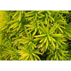 Small Image of Taxus baccata 'Standishii' 12cm Pot Size