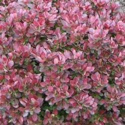 Small Image of Berberis thunbergii 'Bagatelle' 15cm Pot Size