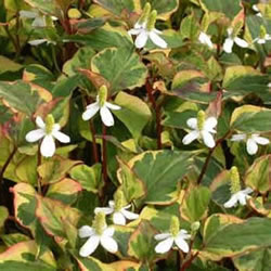 Small Image of Houttuynia cordata 'Chameleon' 19cm Pot Size