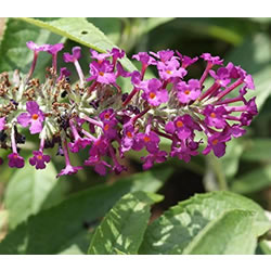 Small Image of Buddleja Buzz 'Magenta' - Butterfly Bush 15cm Pot Size