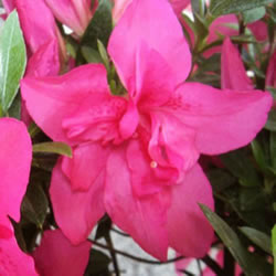 Small Image of Azalea japonica Evergreen  'Roza' 13cm Pot Size