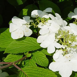 Small Image of Viburnum plicatum 'Lanarth' 19cm Pot Size