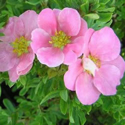 Small Image of Potentilla fruticosa 'Lovely Pink' 19cm Pot Size
