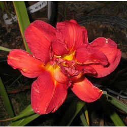 Small Image of Hemerocallis Day Lily 'Fire Cracker' 19cm Pot Size