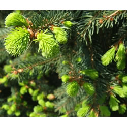 Small Image of Picea abies 80cm tall 26cm Pot Size