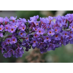 Small Image of Buddleja 'Empire Blue' 19cm Pot Size