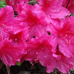 Small Image of Azalea japonica Evergreen  'George Arends' 13cm Pot Size