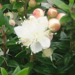Small Image of Myrtus communis ssp. Tarentina 15cm Pot Size