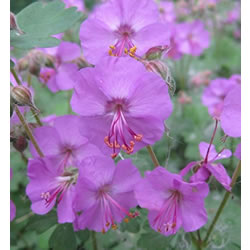 Small Image of Geranium cantabriese 'Karmina' 15cm Pot Size
