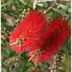 Small Image of Callistemon 'Red Cluster' 15cm Pot Size