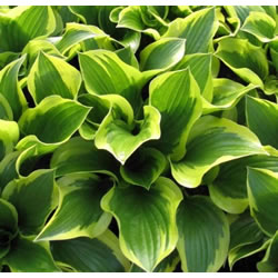 Small Image of Hosta 'Queen Josephine' Bare Root Clump