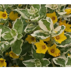 Small Image of Lysimachia punctata 'Alexander' 15cm Pot Size