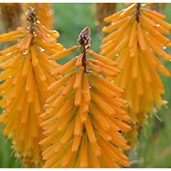 Small Image of Kniphofia 'Mango Popsicle' 15cm Pot Size