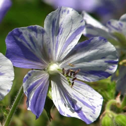 Small Image of Geranium 'Splish Splash' 15cm Pot Size