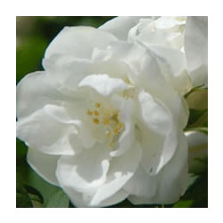 Small Image of Philadelphus 'Virginal' - Mock Orange 19cm Pot Size