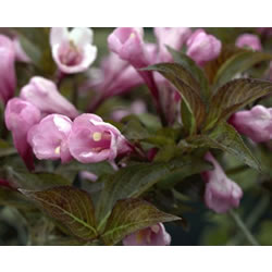 Small Image of Weigela 'Foliis Purpureis' 19cm Pot Size