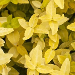 Small Image of Euonymus fortunei 'Goldy' 15cm Pot Size