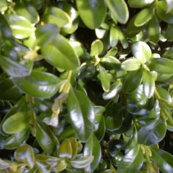 Small Image of Buxus Ball 24cm Diameter 19cm Pot Size